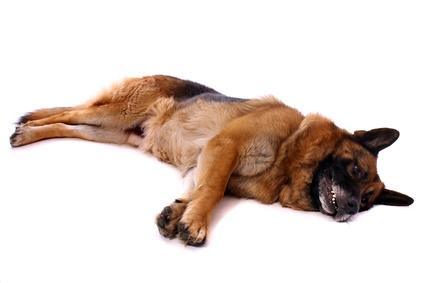 Hund deutscher Schäferhund alt und krank