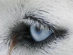L'oeil d'un chien husky