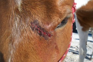 coupure-laceration-entaille-infection-sante-soigner-soins-traitement-secours-cheval-chevaux-equides-animal-animaux-compagnie-animogen-2-300x199